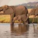 zimbabwe_elephants