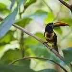 Fiery-billed Aracari. Macaw Lodge and Carara National Park.