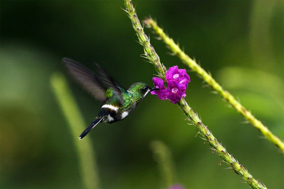 costa-rica-green-thorntail