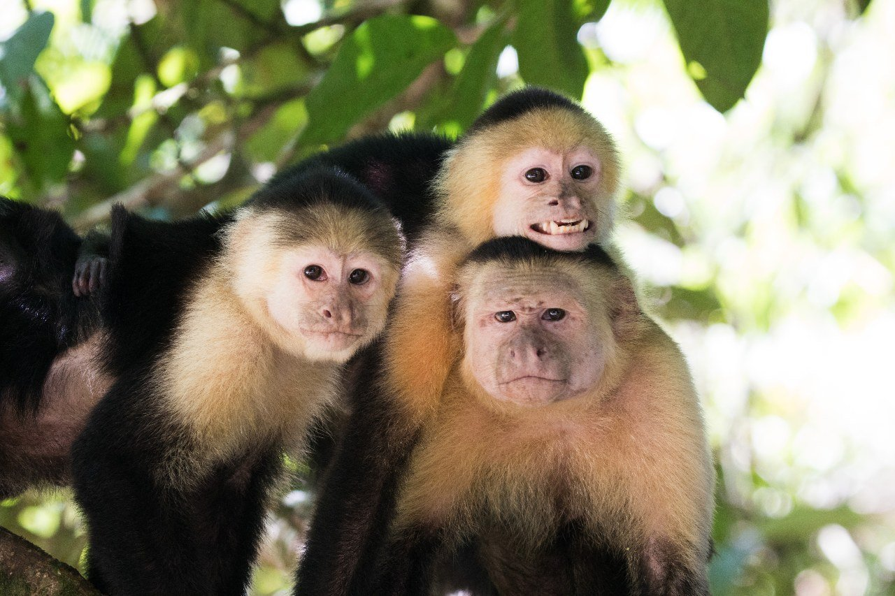costa-rica-white-throated-capuchin